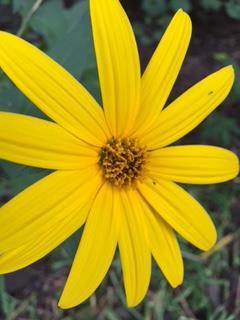 sunroot-flower-2.JPG
