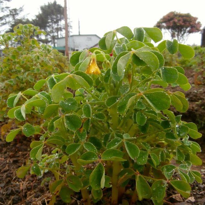 Oca (Oxalis tuberosa) variety 'Hopin' flowering