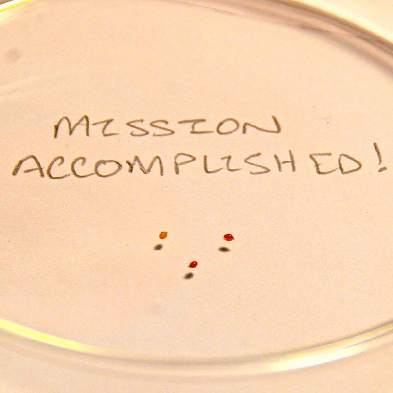 First oca (Oxalis tuberosa) seeds at Cultivariable