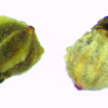 ulluco-seeds-2013