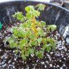 oca-seedling-1-1010