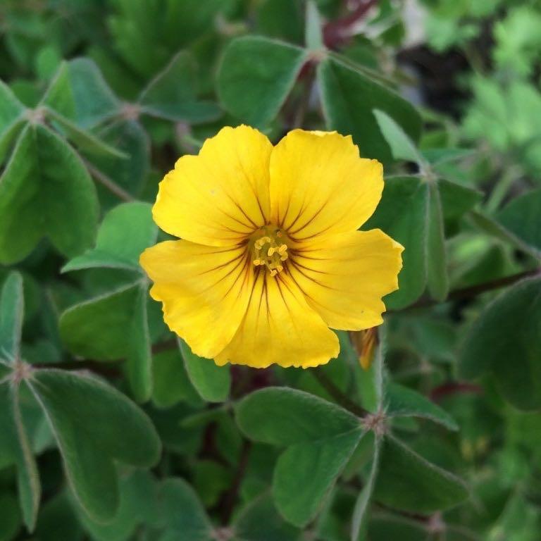 oca-flower-square