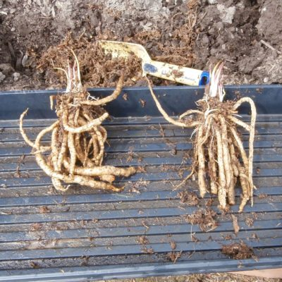 Two skirret root clumps in a tray