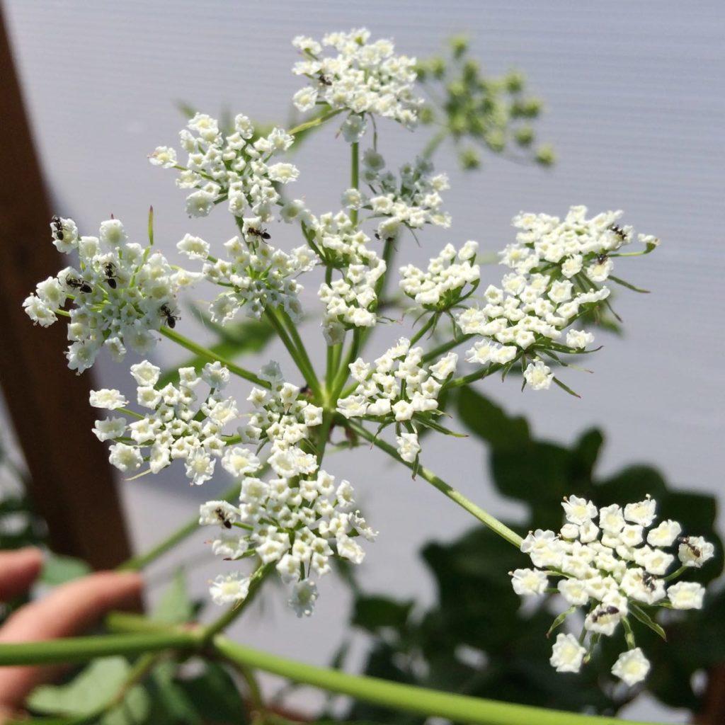 skirret-flower