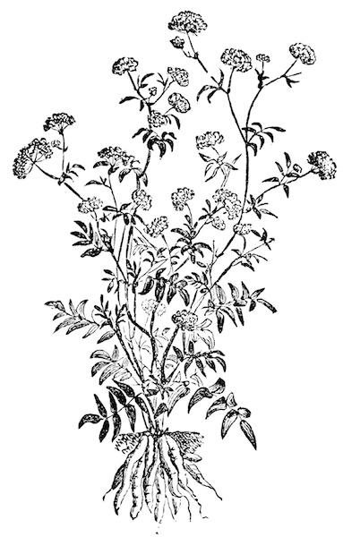 skirret-illustration