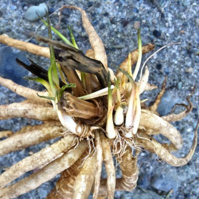 A skirret root crown with green sprouts