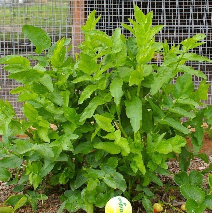 skirret-plant