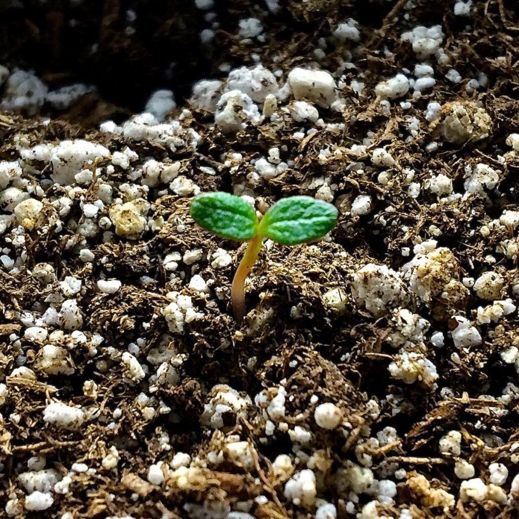 ulluco-seedling