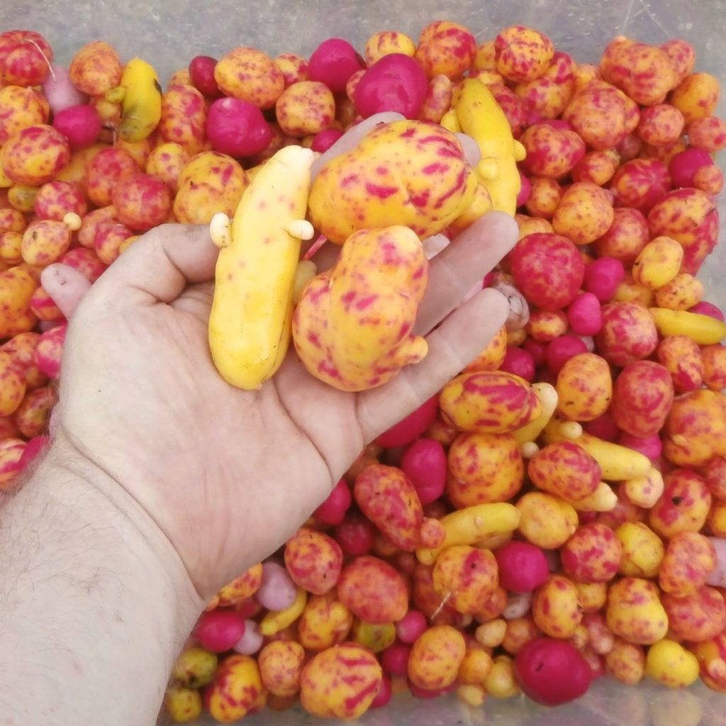 A bin of ulluco tubers with vivid yellow and purple colors