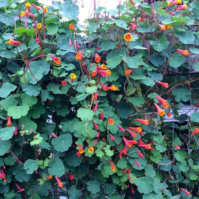 mashua-flowers-square