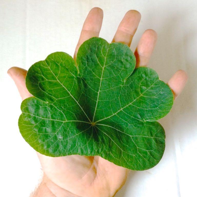 mashua-leaf-square