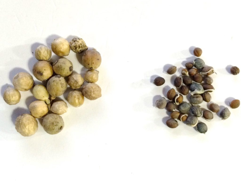 sea-kale-seeds-comparison