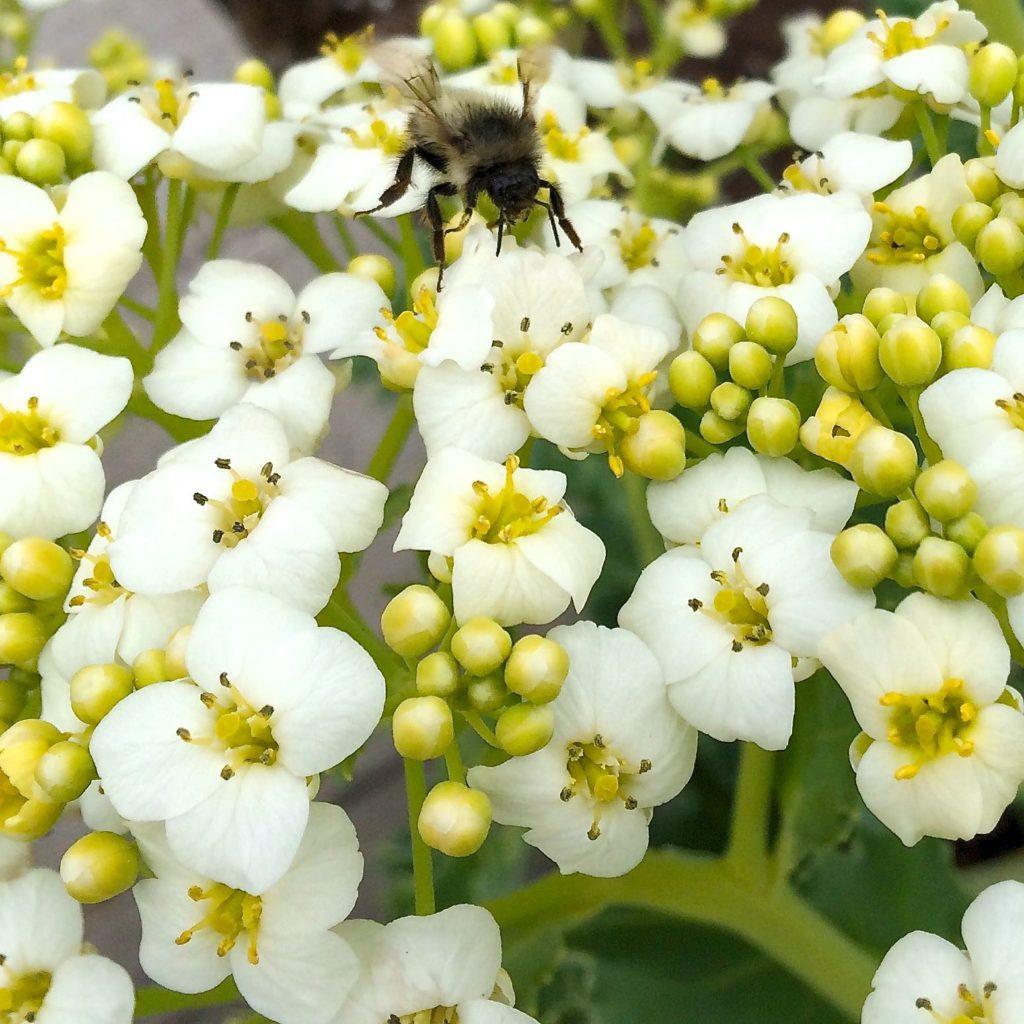 seakale-bumblebee