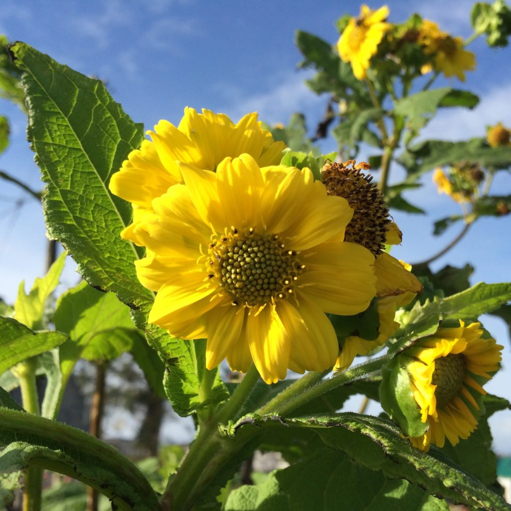 smaculatus-flower
