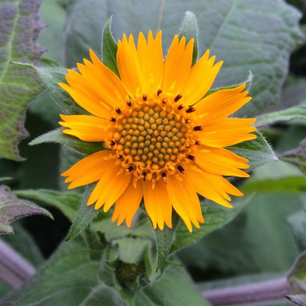 yacon-Morado-flower