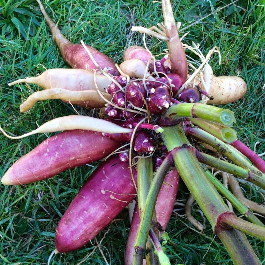 Root clump of yacon variety Quinault