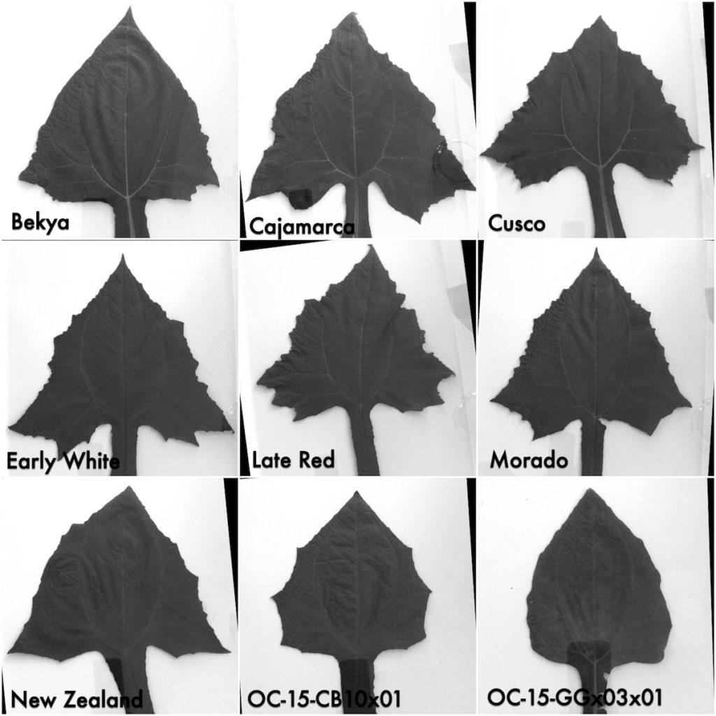 yacon-leaf-shape