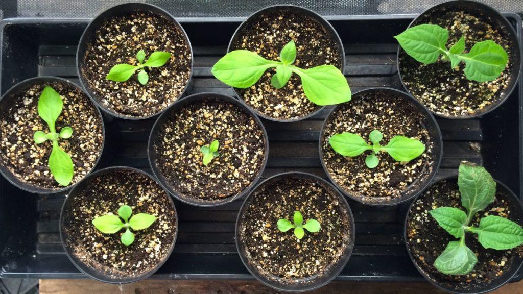 yacon-seedlings