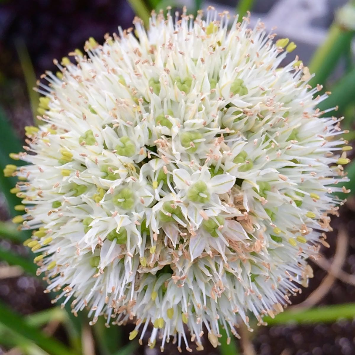 Potato ion Allium cepa aggregatum Ve able Bulb and leaf
