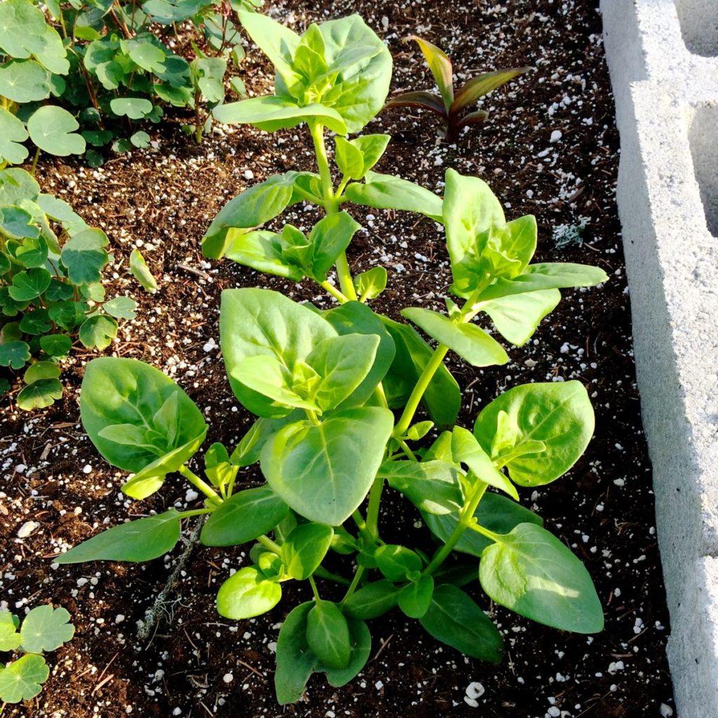 mauka-plant-young