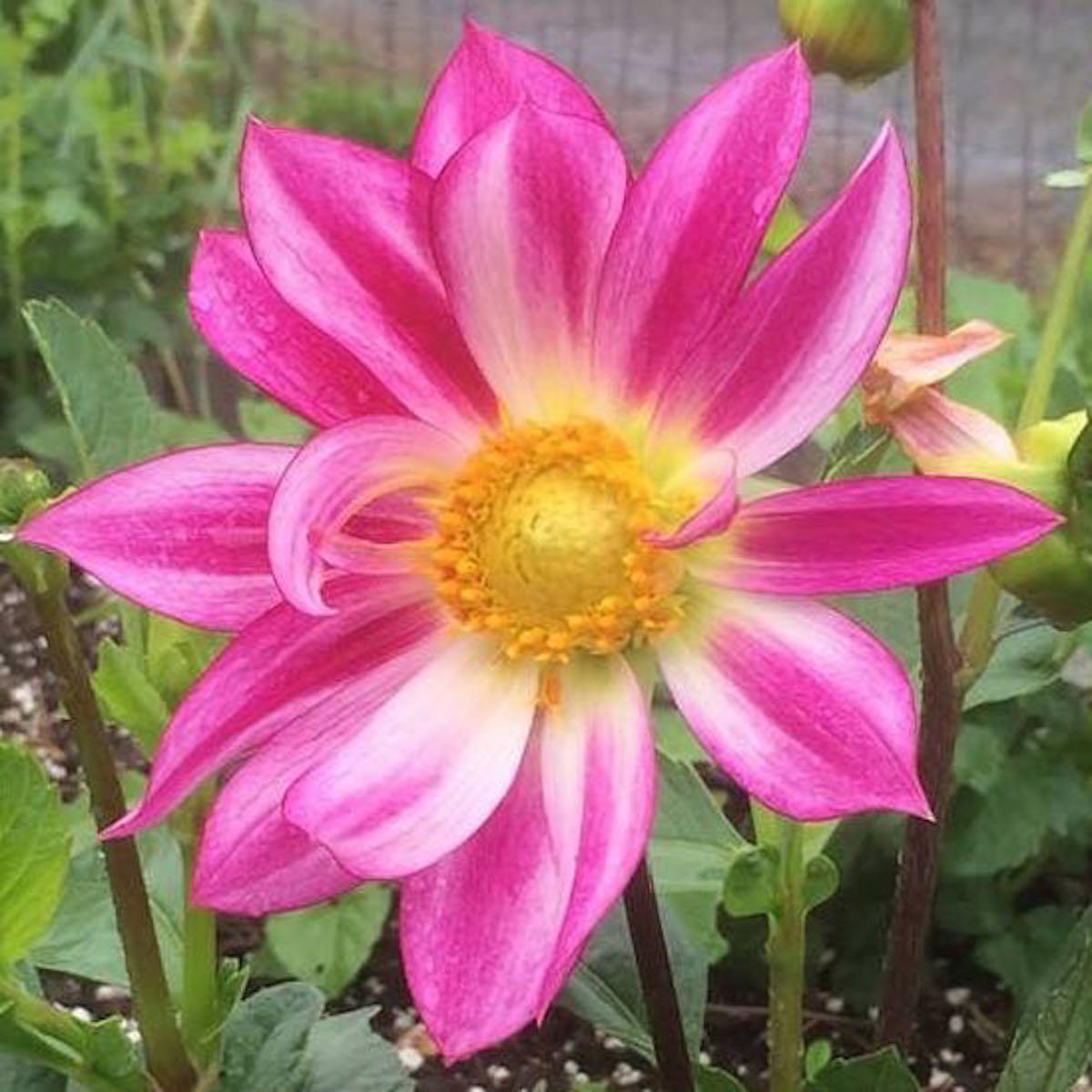 Edible Dahlia Dahlia Spp The Cultivariable Growing Guide