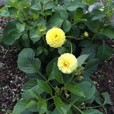 Pom pom type flowers of the dahlia variety Yellow Gem
