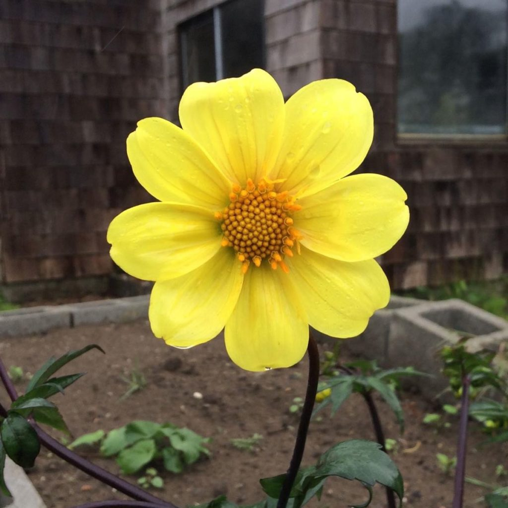 dahlia-coccinea-flower