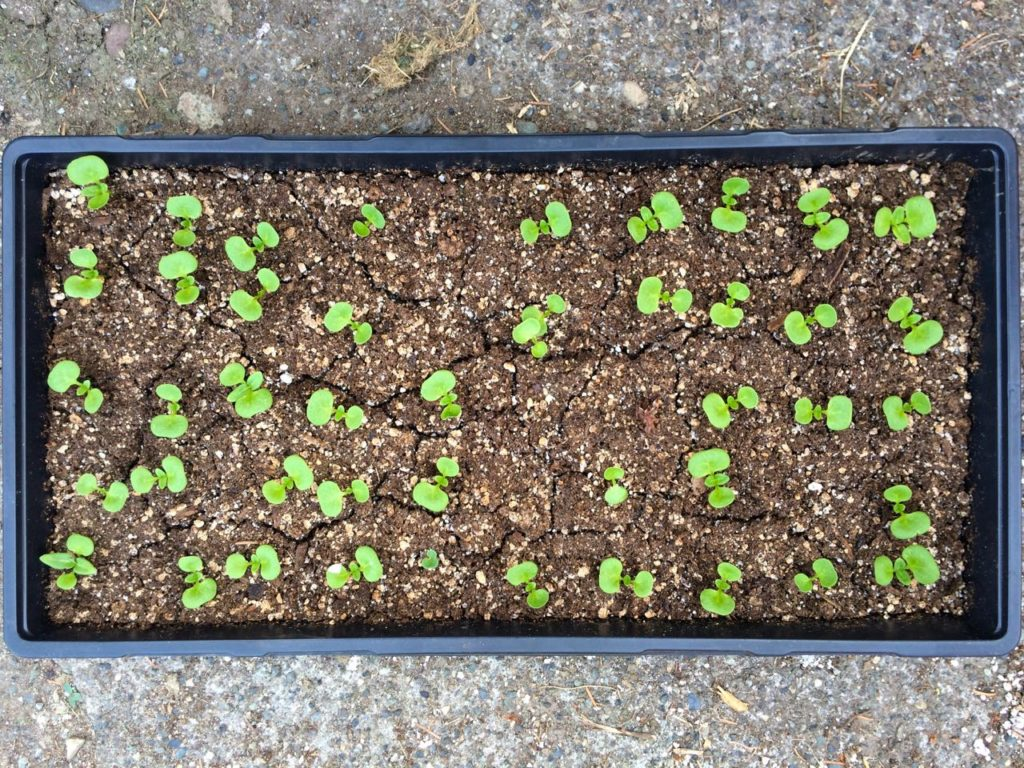 Germination test of 50 mauka seeds