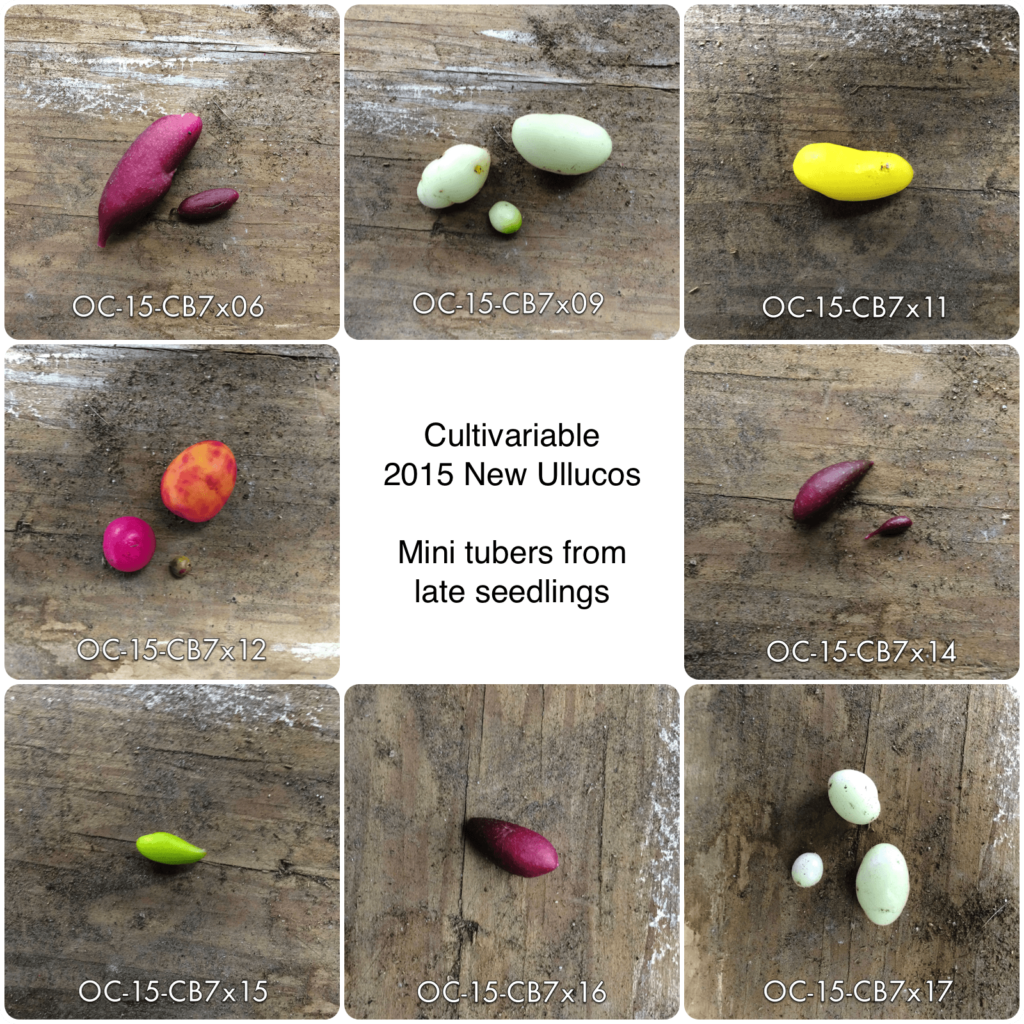 Eight ulluco varieties grown from seedlings. The tubers are small. Colors are purple, light green, yellow, orange and purple, dark purple, and lime green