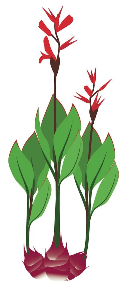 Achira (Canna edulis) illustration