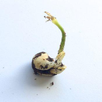 Ahipa (Pachyrhizus ahipa) seedling with multiple sprouts