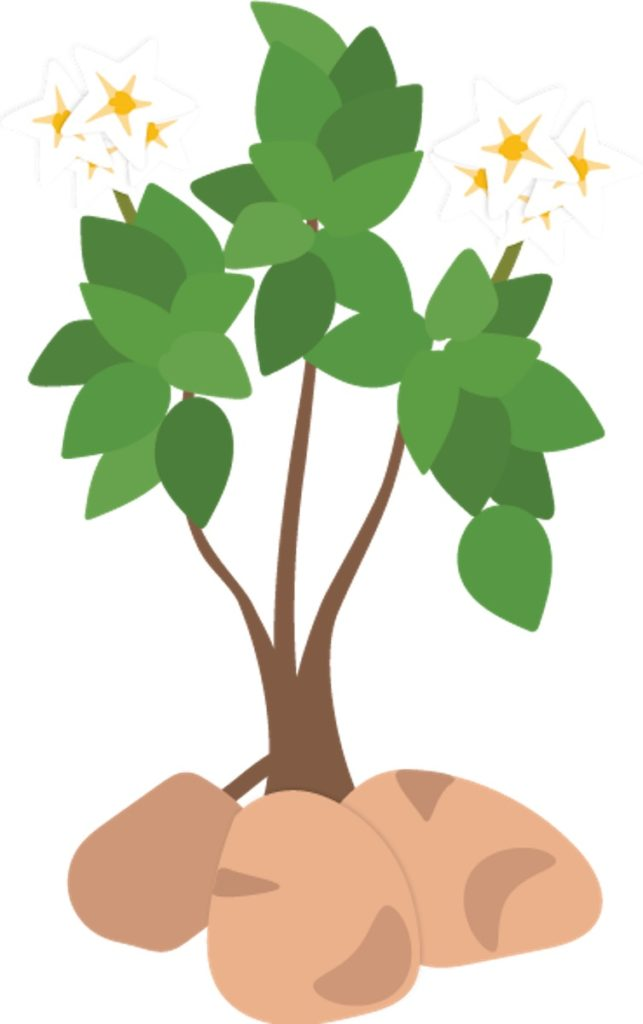 Potato plant illustration