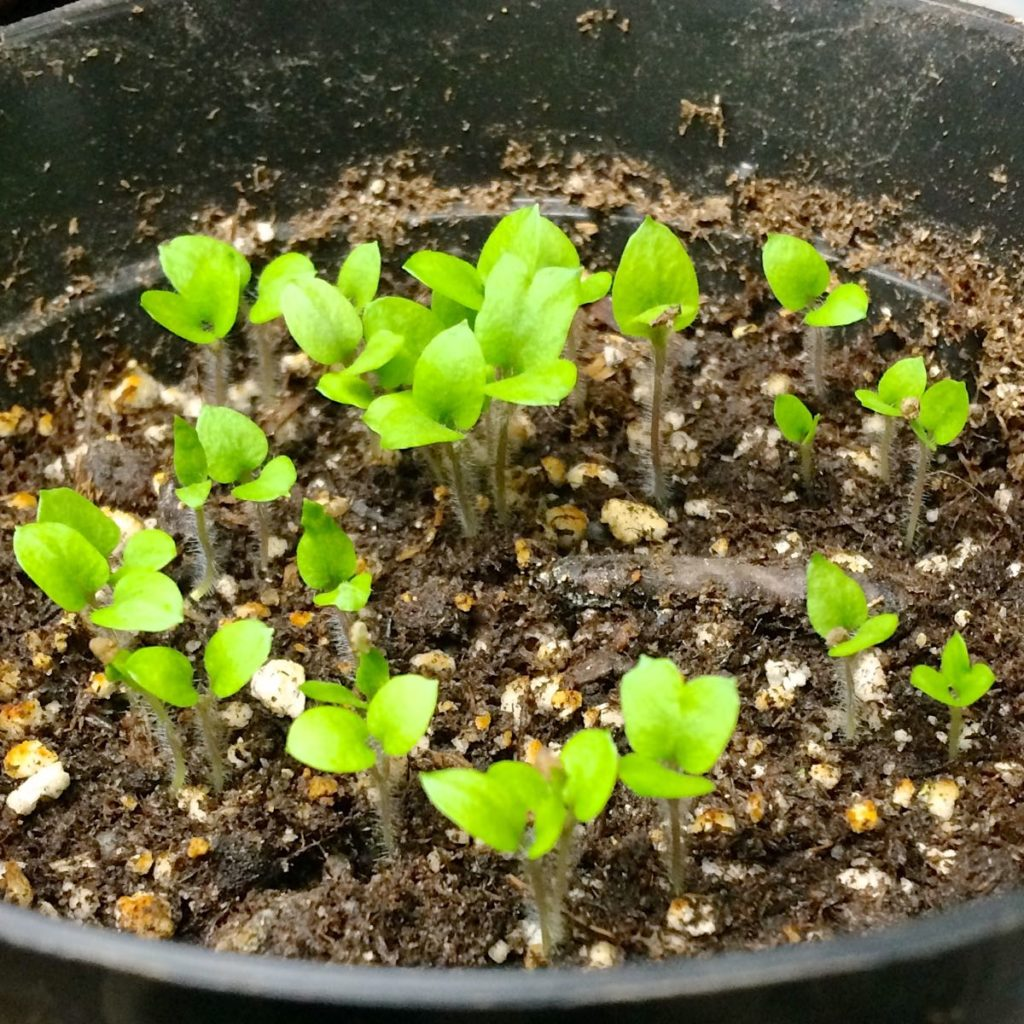 potato-seedlings