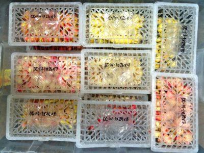 Oca trial varieties in containers