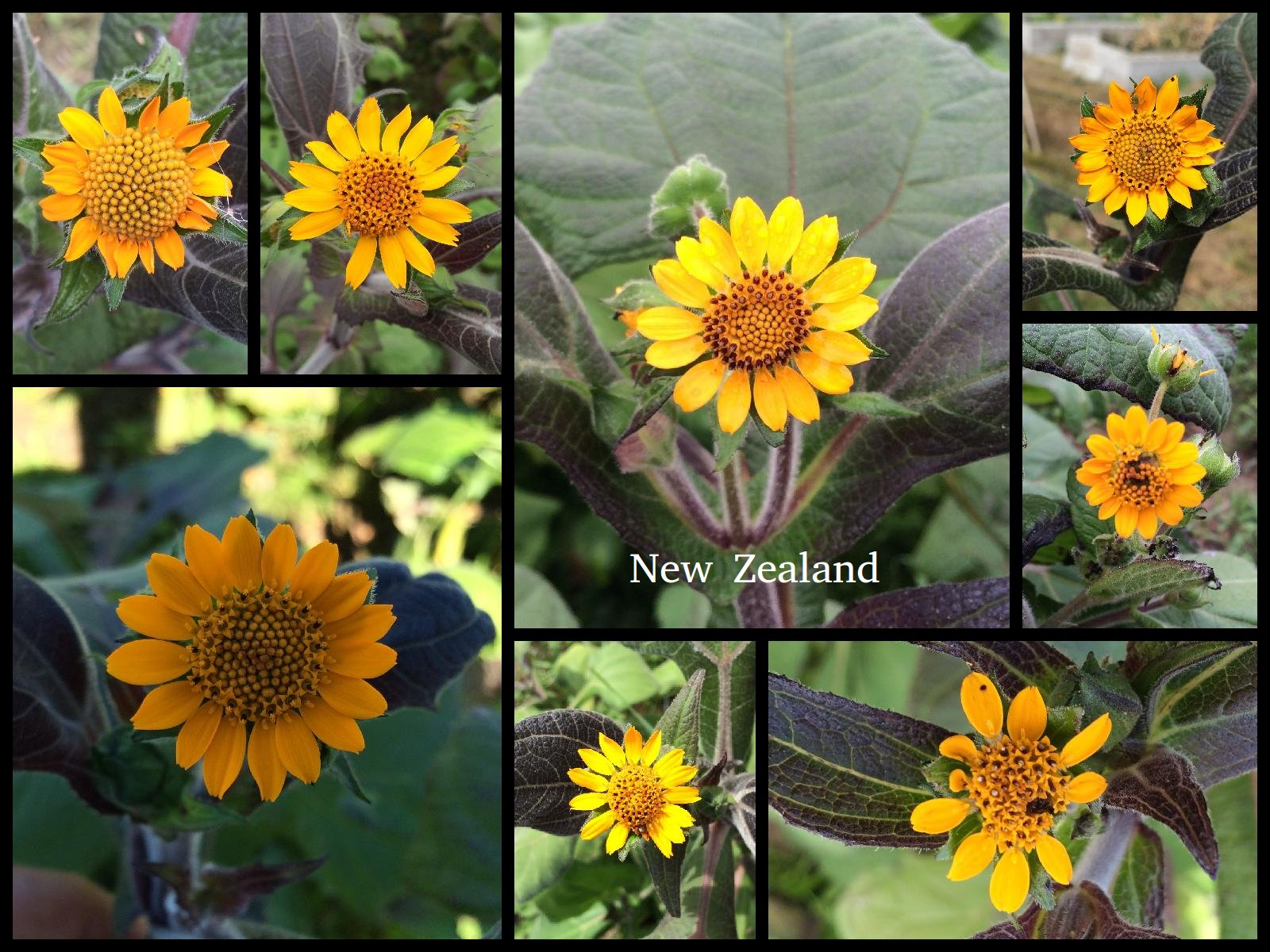 yacon-New_Zealand-flowers