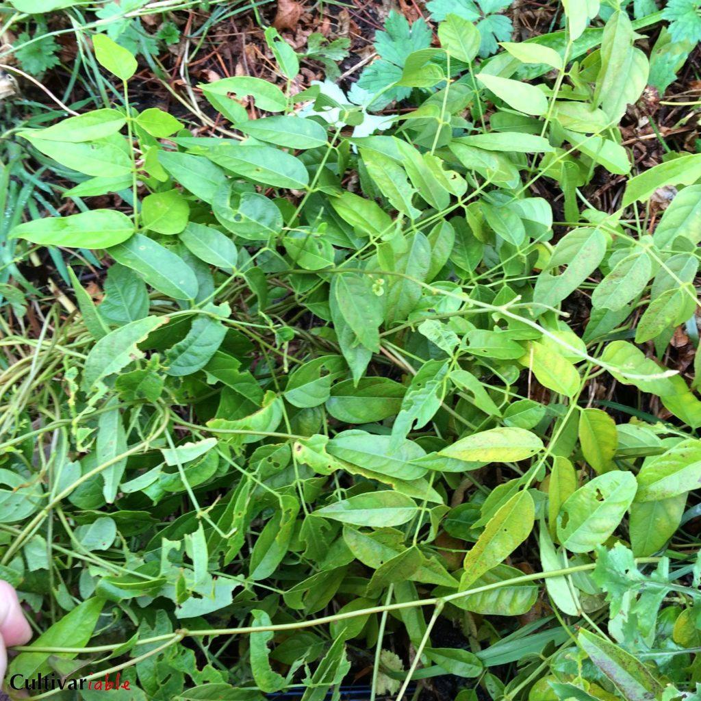 hopniss-leaves