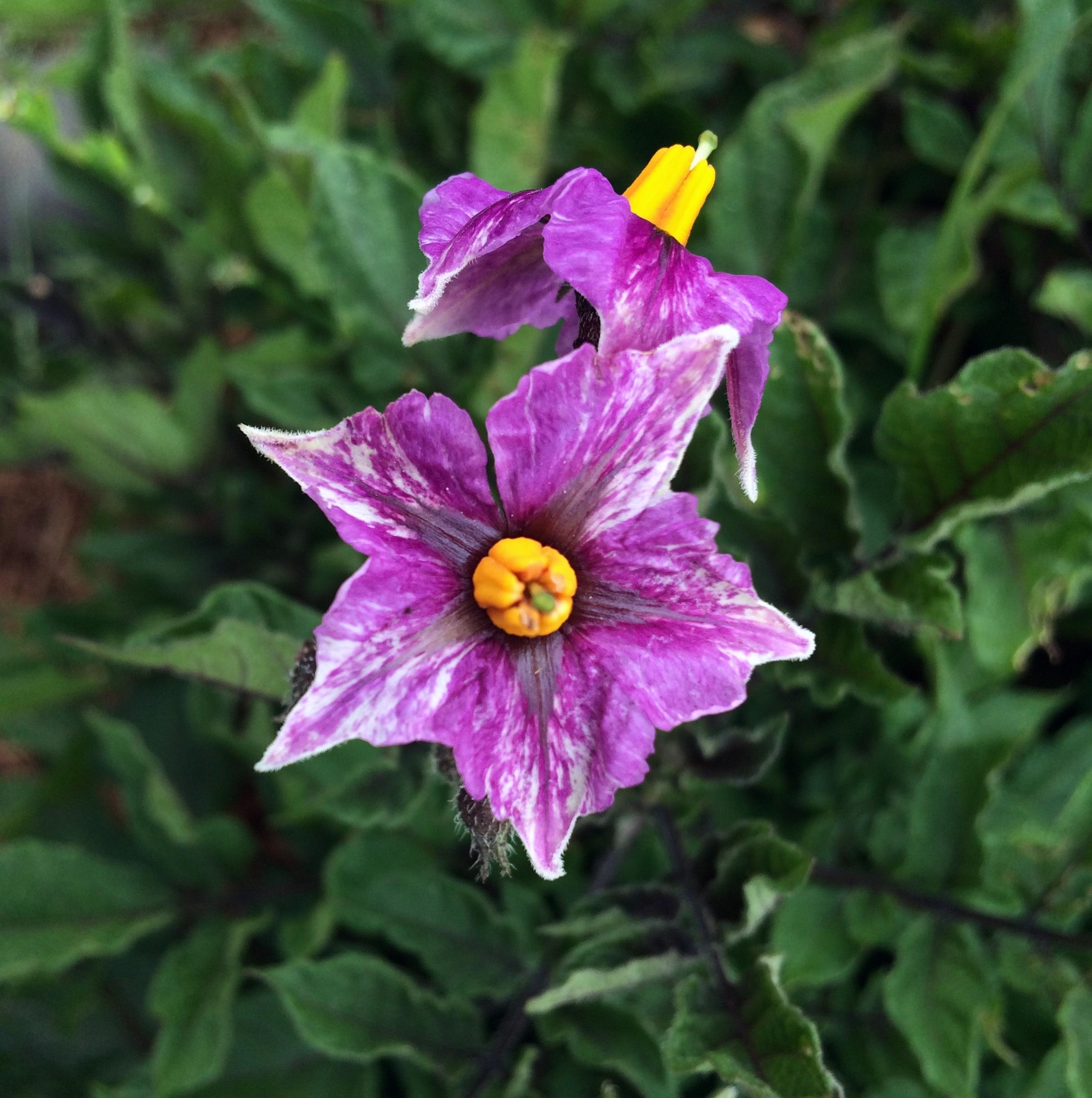 Potato Color Genetics Cultivariable