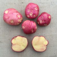 Tubers of the potato variety Toleak, a descendant of S. curtilobum with traits similar to S. acaule.
