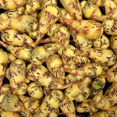 Mashua (Tropaeolum tuberosum) 'Bloody Tears' tubers