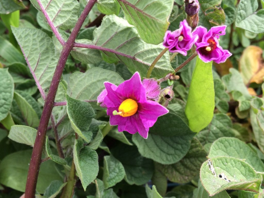A bright red-purple potato flower with a pentagonal corolla and yellow anthers