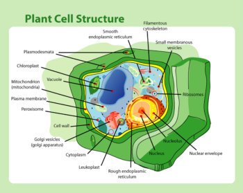 A diagram of a plant cell, showing the major organelles and structural components.