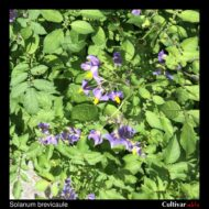 Solanum brevicaule flowers