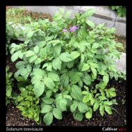 Solanum brevicaule plant