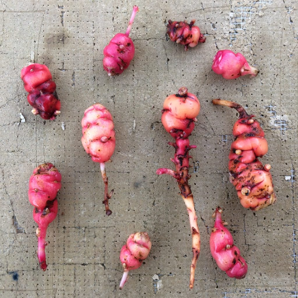 Oca tubers look unhealthy, with a dirty appearance and many eyes that are sprouting