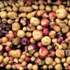 Bicolor Potatoes from Chaucha Chula Negra