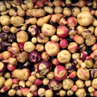 A tray of small bicolor potatoes that are either red and light yellow or blue and light yellow