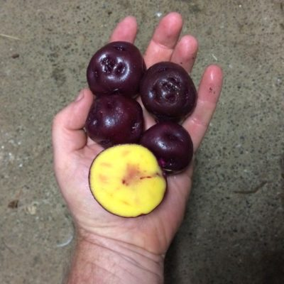 Four uncut and one cut Elwha potatoes in hand. They are dark red/purple with vivid yellow flesh.