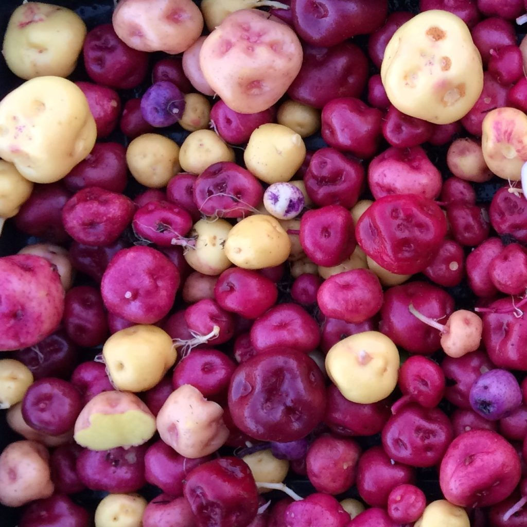 Mixed Andean potatoes in red, pink, yellow, and blue