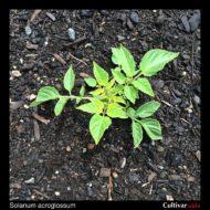 Solanum acroglossum plant