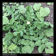 Solanum albicans plant